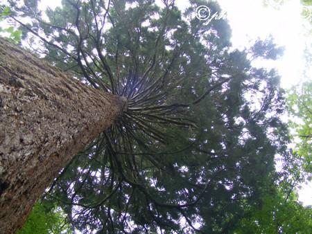 mammutbaum-sondelfingen-2