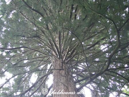 mammutbaum-sondelfingen-3
