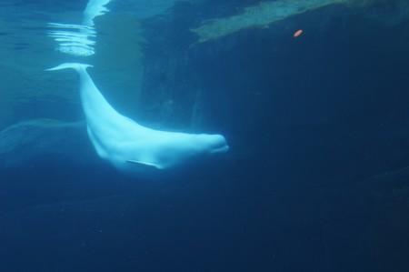 beluga-wal-2
